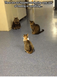 Cats, Memes, and Hospital: These are our hospital cats  having some sort  of meeting or something