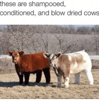 cow: these are shampooed,  conditioned, and blow dried cows