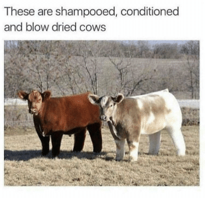What Is, Blow, and Can: These are shampooed, conditioned  and blow dried cows What is seen, can't be unseen