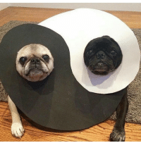 THESE ARE VERY RARE JAPANESE ZEN PUGS. TAG YOUR BABY pugs pug pugsofinstagram pugsnotdrugs dog dogs love yinyang: THESE ARE VERY RARE JAPANESE ZEN PUGS. TAG YOUR BABY pugs pug pugsofinstagram pugsnotdrugs dog dogs love yinyang