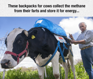 lolzandtrollz:  The Look On That Cow's Face: These backpacks for cows collect the methane  from their farts and store it for energy... lolzandtrollz:  The Look On That Cow's Face