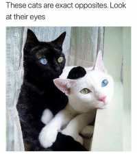 Cats, Funny, and Memes: These cats are exact opposites. Look  at their eyes Follow me @hilarious.ted for more animal memes
