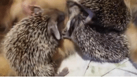 These cute baby hedgehogs lost their mom but found comfort in the loving arms of this adorable cat! :): These cute baby hedgehogs lost their mom but found comfort in the loving arms of this adorable cat! :)