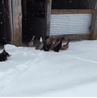 These ducks experience snow for the first time and are not impressed 😂🦆: These ducks experience snow for the first time and are not impressed 😂🦆