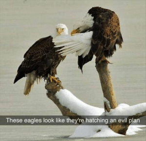 Philadelphia Eagles, Funny, and Animal: These eagles look like they're hatching an evil plan nice Funny Animal Pictures Of The Day - 24 Pics