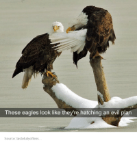 Philadelphia Eagles: These eagles look like they're hatching an evil plan  Source: tastefullyoffens.