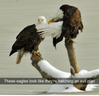Funny, Lol, and Eagle: These eagles look like they're hatching an evil plan These Eagles Though...lol