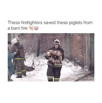 Fire, Awww, and Aed: These firefighters saved these piglets from  a barn fire Awww