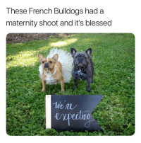 Blessed, Funny, and French: These French Bulldogs had a  maternity shoot and it's blessed  ecdno This made my day (Swipe)