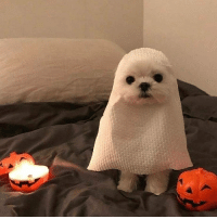 These ghost dogs almost spooked me. @barked - halloween doggo barked 9gag: These ghost dogs almost spooked me. @barked - halloween doggo barked 9gag
