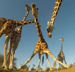 They, Album, and Look: These giraffes look like they are about to drop the hottest album of the year