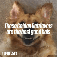 Dank, Best, and Good: These Golden Retrievers  are the best good bols  UNILAD Aren't golden retrievers just the best! 😍🐶  Sniffr Media