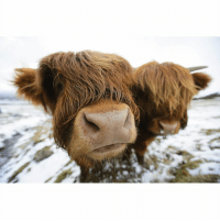 """Memes, Brave, and Scotland: These Highland cows in the Kilpatrick Hills near Glasgow brave freezing weather conditions as the cold snap dubbed the """"mini beast from the east"""" keeps its grip on the UK. PHOTO: John Linton-PA Wire snow scotland beastfromtheeast weather highlands highlandcattle Glasgow"""