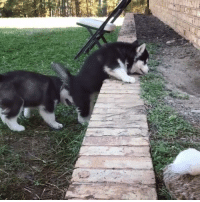 Climbing, Memes, and Puppies: These Husky puppies trying to climb a very small obstacle  by MyWinterfell's Siberian Huskies