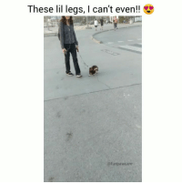 9gag, Animals, and Dogs: These lil legs, I can't even!!  @funpawcare THIS LOW RIDER 💓💓💓 (VOLUME UP) @funpawcare . . link in bio updated often with all of our expert recommended Dog Training, Behavior, Nutrition, & Pet Care products. Recommended by experts, for parents. dogtraining puppylove dogwalking doglover puppies puppy puppiesofinstagram dogstagram dogs dog pet pets paw paws love dogsofinstagram doglove doglovers furbaby howl howling howler olddog SENIORDOG dachshund dachshunds dachshundsofinstagram wienerdog wienerdogworld wiener @9gag @barked @buzzfeed @buzzfeedanimals @ladbible @unilad @theellenshow @barstoolsports @cbsla @lnsta_dogs @dogsofinstagram @instagram @dogsbeingbasic @dogs @failsclip @funnyfailvideos @fun_bestvids @lol_vines @bestvidsnow @failsvids @animals.co @thedodo @boopmynose @dogsofinstaworld @pups @pawz @puppystagrams @animal_unity @dogs.lovers @animalove.co @cutepetclub @puppyscene @campingwithdogs @bestvinesnow @pupflix