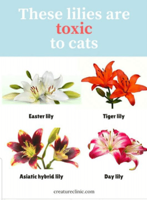 Cats are curious and they like to chew on things.  Ingesting any part of a lily can lead to severe, acute kidney injury.  It only takes a couple of petals or leaves or even a little bit of pollen to cause severe illness or death. If you suspect your cat may have eaten part of a lily (or even drunk any of the water the lilies are in!) it's absolutely crucial that you speak to your vet immediately.: These lilies are  toxic  to cats  Easter lily  Tiger lily  Asiatic hybrid lily  Day lily  creatureclinic.com Cats are curious and they like to chew on things.  Ingesting any part of a lily can lead to severe, acute kidney injury.  It only takes a couple of petals or leaves or even a little bit of pollen to cause severe illness or death. If you suspect your cat may have eaten part of a lily (or even drunk any of the water the lilies are in!) it's absolutely crucial that you speak to your vet immediately.