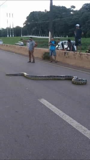 These people stopped the traffic to help this huge anaconda cross the road 😱🙌  Credit: ViralHog: These people stopped the traffic to help this huge anaconda cross the road 😱🙌  Credit: ViralHog