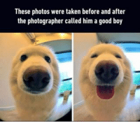 9gag, Memes, and Precious: These photos were taken before and after  the photographer called him a good boy Precious pup. Follow @9gag @9gagmobile 9gag samoyed