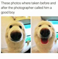 I love him😍 @unilad has the best memes ever!!: These photos where taken before and  after the photographer called him a  good boy I love him😍 @unilad has the best memes ever!!