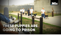 Dogs, Jail, and Memes: THESE PUPPIES ARE  GOING TO PRISON  .Mic Puppies are going to jail to work with prisoners and become guide dogs for the blind.  #MicBrights