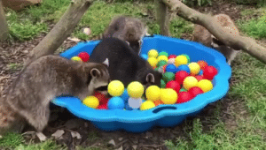 These trash pandas are having a ball! Hopefield Animal Sanctuary is home to all sorts of critters that can't be released back to the wild for various reasons.: These trash pandas are having a ball! Hopefield Animal Sanctuary is home to all sorts of critters that can't be released back to the wild for various reasons.