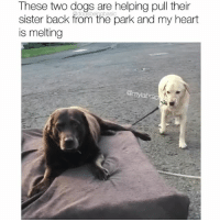 Dogs, Memes, and Heart: These two dogs are helping pull their  sister back from the park and my heart  is melting  @mylabra Sweetness alert. These boys helping tired Remy is everything. Pups @mylabrachildren