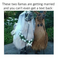 You can't be too mad though bc these llamas are SDC (so damn cute) @cosmoskyle: These two llamas are getting married  and you can't even get a text back  @BO  ITHNOJOB You can't be too mad though bc these llamas are SDC (so damn cute) @cosmoskyle