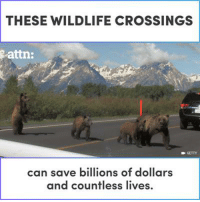 Animals, Memes, and 🤖: THESE WILDLIFE CROSSINGS  attn:  GETTY  can save billions of dollars  and countless lives. These wildlife crossings can save the lives of animals AND humans.