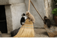 thestalkerbunny: Familiars practicing for when their Witch takes them on their first broom ride: thestalkerbunny: Familiars practicing for when their Witch takes them on their first broom ride