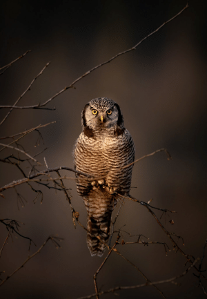 Tumblr, Blog, and Flickr: thestrigiform:Northern Hawk Owl (Surnia ulula) by Chris C