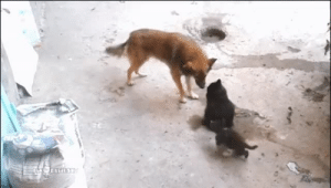thesweetpianowritingdownmylife: glyndarling:  glenn-griffon:  star-anise:  thepositivecattitude:  Mother cat with kittens came to meet an old friend.  I can't believe we've already found the best animal video of 2016.  That is too adorable. You can tell the mother cat actually does trust the dog just by her body language. Typically a mother will watch her kittens closely and be very protective of them, here she completely trusts the dog to play gentle with them. This is just too damn cute.  When he bops the kitten and looks up at Mom to make sure he didn't overstep!  The dog is trying to make himself as non-threatening as possible!! : thesweetpianowritingdownmylife: glyndarling:  glenn-griffon:  star-anise:  thepositivecattitude:  Mother cat with kittens came to meet an old friend.  I can't believe we've already found the best animal video of 2016.  That is too adorable. You can tell the mother cat actually does trust the dog just by her body language. Typically a mother will watch her kittens closely and be very protective of them, here she completely trusts the dog to play gentle with them. This is just too damn cute.  When he bops the kitten and looks up at Mom to make sure he didn't overstep!  The dog is trying to make himself as non-threatening as possible!!