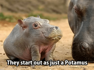 They grow the Hippo part later.: Thev start out asjust a Potamus They grow the Hippo part later.