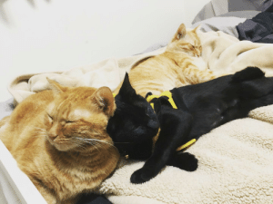 They're finally getting along! Black cat was adopted earlier this year, and the two Gingers has a hard time adapting to the new family member. The Three Meowketeers.: They're finally getting along! Black cat was adopted earlier this year, and the two Gingers has a hard time adapting to the new family member. The Three Meowketeers.