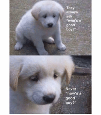 "Memes, Good, and Never: They  always  ask  ""who's a  good  boy?""  Never  ""how's a  good  boy?"" 😭"