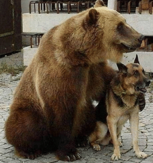 "They both descended from ""Bear Dog"" ancestor. They are cousins.: They both descended from ""Bear Dog"" ancestor. They are cousins."