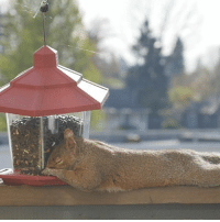 They kindly left a bird feeder out and this hungry squirrel ate himself to sleep 😂❤️Reddit: anonymuscles: They kindly left a bird feeder out and this hungry squirrel ate himself to sleep 😂❤️Reddit: anonymuscles