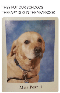 Http, Doggo, and Dog: THEY PUT OUR SCHOOL'S  THERAPY DOG IN THE YEARBOOK  Miss Peanut doggo 3 via /r/wholesomememes http://bit.ly/2CcqmYE
