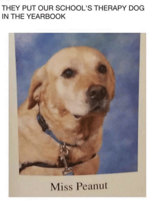 Dog, Via, and They: THEY PUT OUR SCHOOL'S THERAPY DOG  IN THE YEARBOOK  Miss Peanut Miss Peanut In The Yearbook via /r/wholesomememes https://ift.tt/2FuBQtB