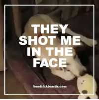 Click, Memes, and Home: THEY  SHOT ME  IN THE  FACE.  hendrickboards.com Remember Sully who was shot in the face. Look at him playing in his foster home! You can still support him.  Click to read his story--> http://dogco.org/save-sully-rdr