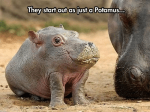 srsfunny:The Discovery Channel Never Mentioned This: They start out as fust a Potamus... srsfunny:The Discovery Channel Never Mentioned This