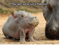 <p>The Discovery Channel Never Mentioned This.</p>: They start outas just a Potamus.. <p>The Discovery Channel Never Mentioned This.</p>