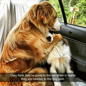 Animals, Funny, and Memes: They think they're going to the vet when in reality  they are headed to the dog park. 42 Funny Dog Memes That'll Make Your Day! - Lovely Animals World