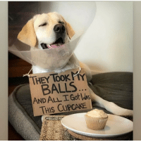 It ain't easy being a dog. Pup @little_coop_the_lab: THEY TOOK P  BALLS  AND ALL I Got s  THIS CUPCAKE It ain't easy being a dog. Pup @little_coop_the_lab