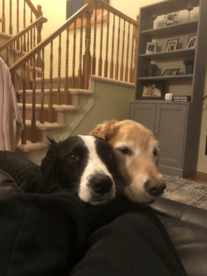 Thick as thieves! Our neighbours dog walks himself over all the time to hang out with his bestie.: Thick as thieves! Our neighbours dog walks himself over all the time to hang out with his bestie.