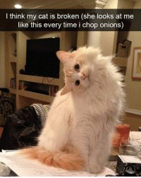 Memes, Pop, and Onion: think my cat is broken (she looks at me  like this every time i chop onions) Does anyone know of any really catchy Italian pop songs