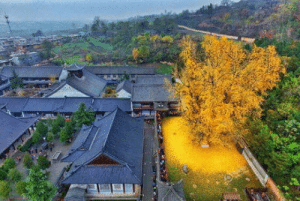 Fall, China, and Tree: This 1400 year gingko tree in China sheds golden leaves during fall
