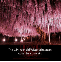 Memes, Japan, and Pink: This 144-year-old Wisteria in Japan  looks like a pink sky.