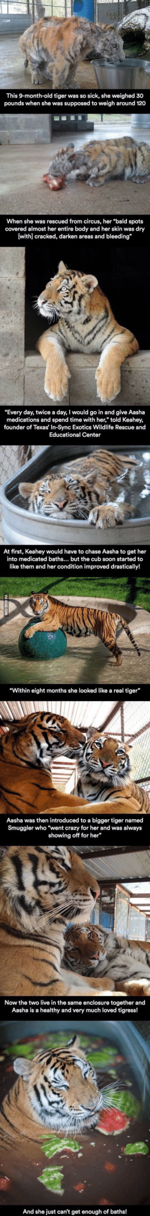 """Beautiful, Crazy, and Life: This 9-month-old tiger was so sick, she weighed 30  pounds when she was supposed to weigh around 120  When she was rescued from circus, her """"bald spots  covered almost her entire body and her skin was dry  (withl cracked, darken areas and bleeding  """"Every day, twice a day, I would go in and give Aasha  medications and spend time with her,"""" told Keahey,  founder of Texas' In-Sync Exotics Wildlife Rescue and  Educational Center  At first, Keahey would have to chase Aasha to get her  into medicated baths... but the cub soon started to  like them and her condition improved drastically!  Within eight months she looked like a real tiger  Aasha was then introduced to a bigger tiger named  Smuggler who """"went crazy for her and was always  showing off for her  Now the two live in the same enclosure together and  Aasha is a healthy and very much loved tigress!  And she just can't get enough of baths! Beautiful Life"""
