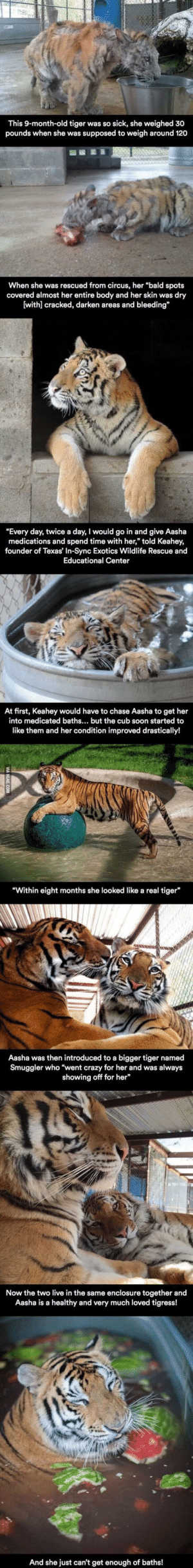 """Crazy, Cute, and Soon...: This 9-month-old tiger was so sick, she weighed 30  pounds when she was supposed to weigh around 120  When she was rescued from circus, her """"bald spots  covered almost her entire body and her skin was dry  (withl cracked, darken areas and bleeding  """"Every day, twice a day, I would go in and give Aasha  medications and spend time with her,"""" told Keahey  founder of Texas' In-Sync Exotics Wildlife Rescue and  Educational Center  At first, Keahey would have to chase Aasha to get her  into medicated baths... but the cub soon started to  like them and her condition improved drastically!  Within eight months she looked like a real tiger  Aasha was then introduced to a bigger tiger named  Smuggler who """"went crazy for her and was always  showing off for her  Now the two live in the same enclosure together and  Aasha is a healthy and very much loved tigress!  And she just can't get enough of baths! This cute tiger! 🐅"""