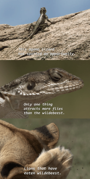 "kaijutegu:  kaijutegu:  kaijutegu:  kaijutegu: lizard out there really gonna do it this lizard is braver than any US marine  he's going for it, the absolute madlad  : This agama lizard  has spotted:an""6pportunity.   Only one thing  attracts more flies  than the wiLdebeest.   Lions that have  eaten wildebeest. kaijutegu:  kaijutegu:  kaijutegu:  kaijutegu: lizard out there really gonna do it this lizard is braver than any US marine  he's going for it, the absolute madlad"
